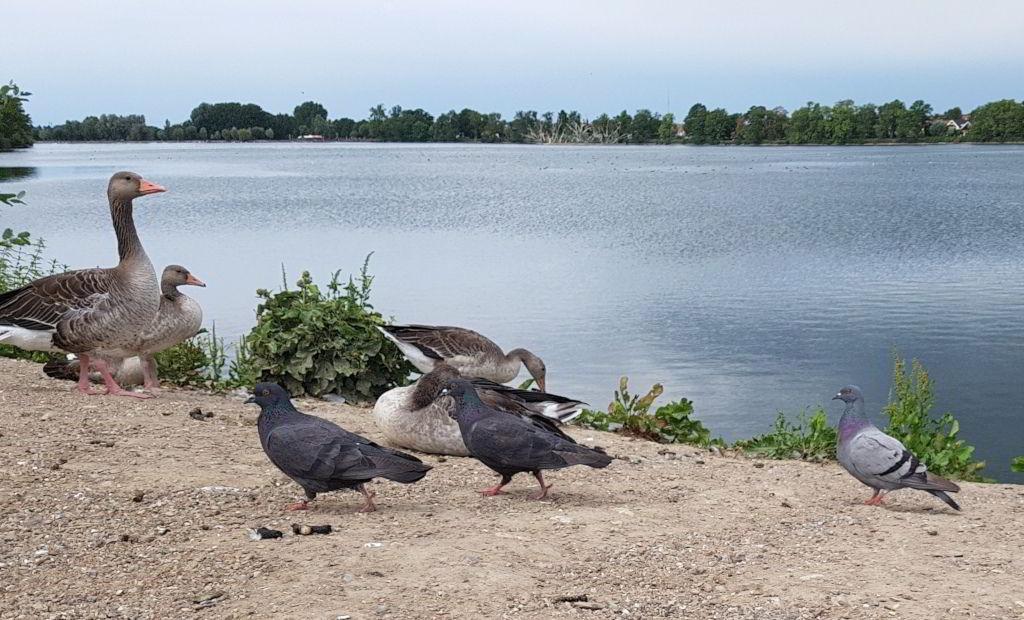 Grågæs og duer ved Damhussøen