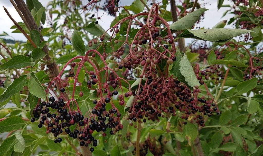 Hyldebær ved Damhussøen