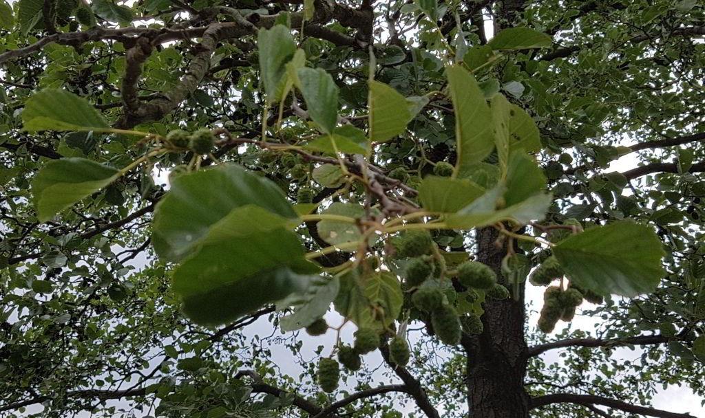 Humleplante ved Damhussøen