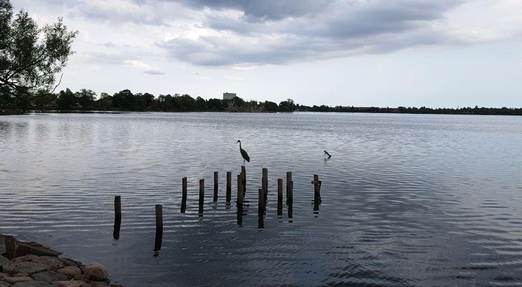 Fiskehejre i Damhussøen