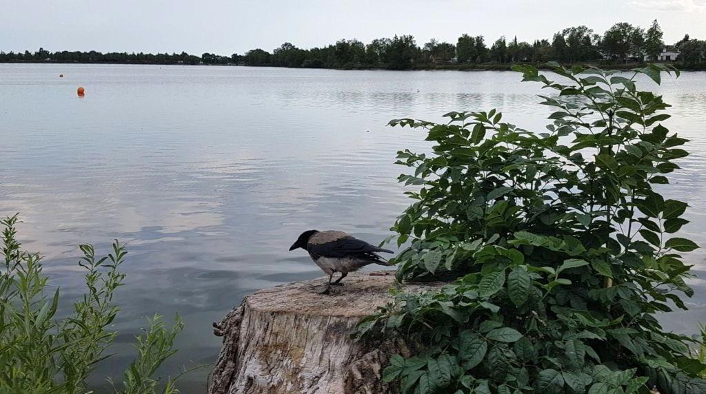 Krage ved Damhussøen