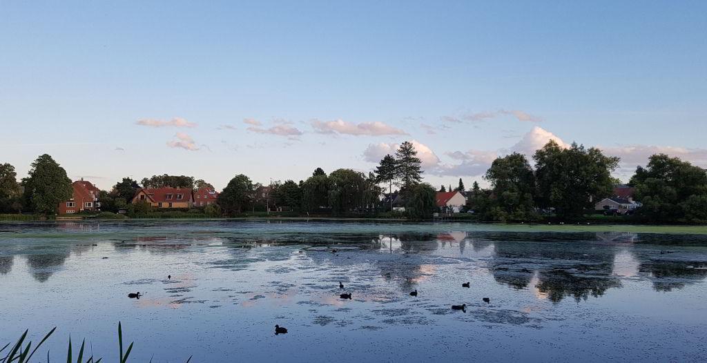 Blishøns i  Emdrup sø