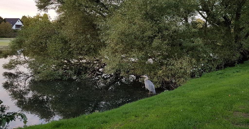Fiskehejre spejder ud over Emdrup sø