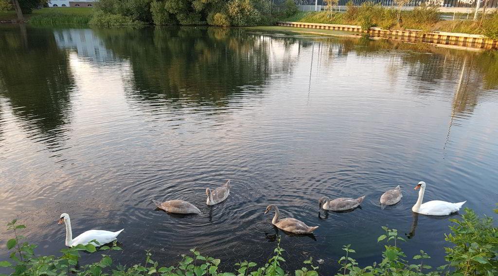 Svanefamilie i Emdrup sø