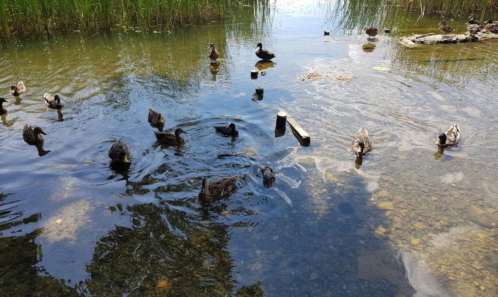 Gråænder og Blishøns i Farum sø