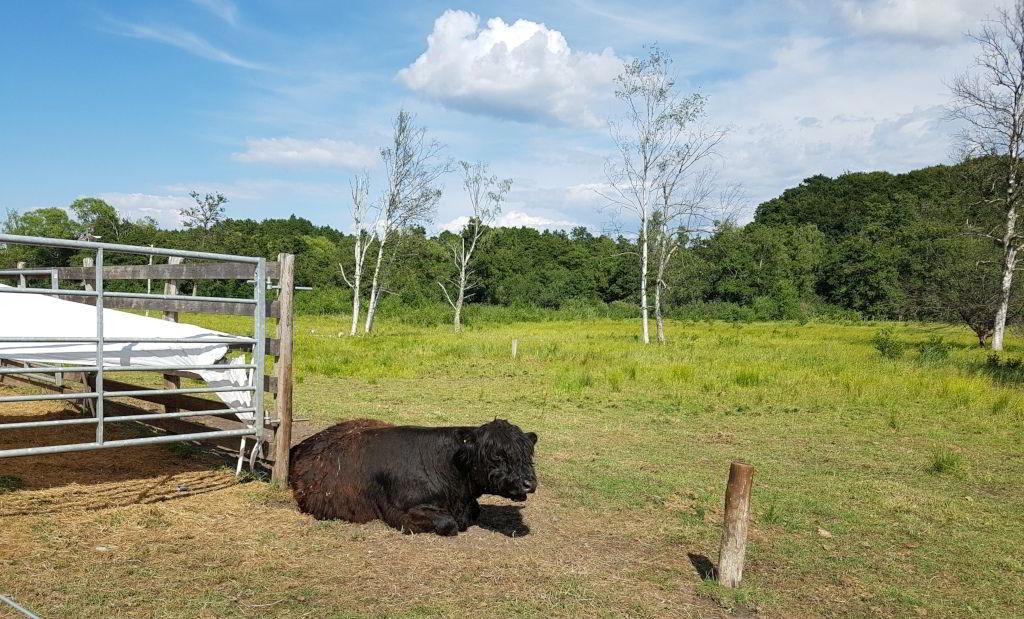 Sort ko ved Farum sø
