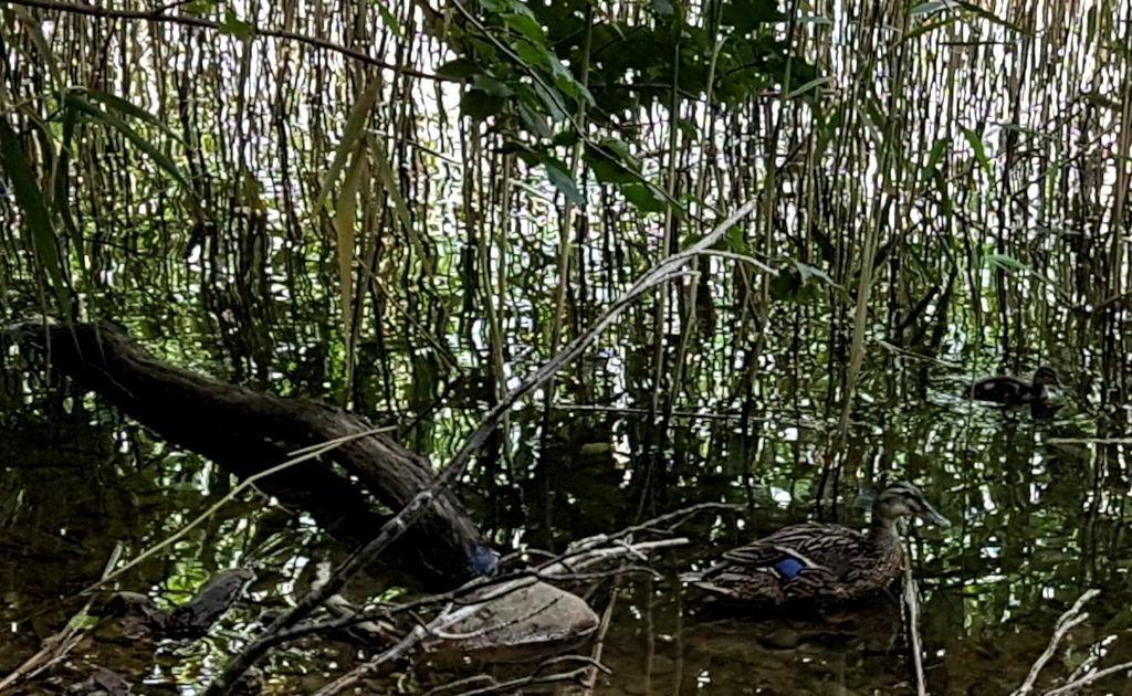Gråand med ælling ved Farum sø
