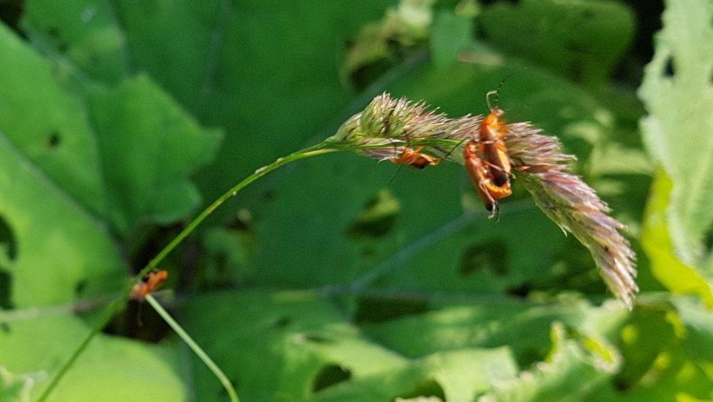 Insekter på strå ved Farum sø