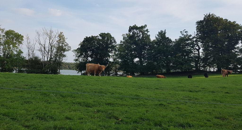 Køer ved Skarresø