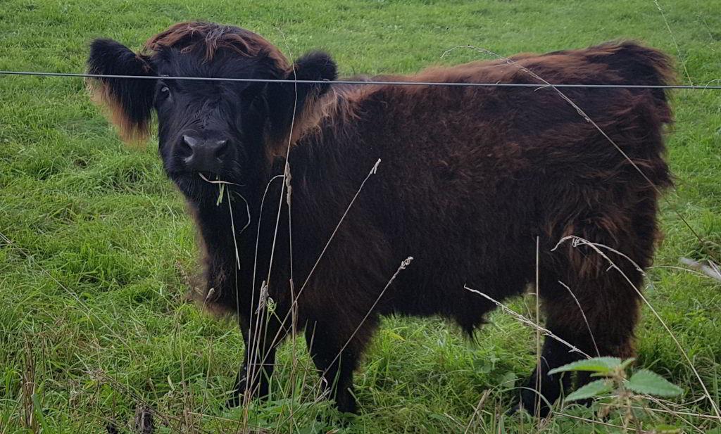 Denne kalv var ret fotogen