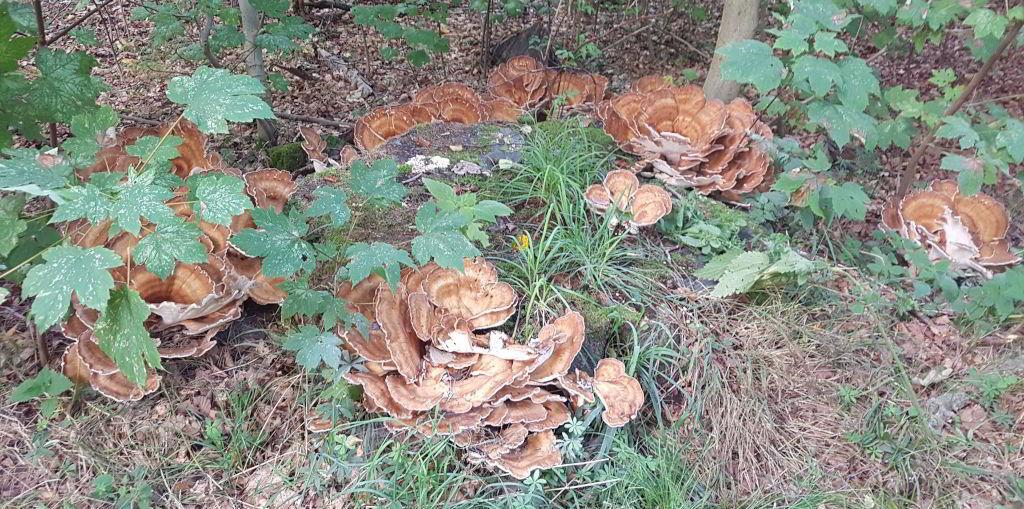 Svampe i skovbunden ved Skarresø