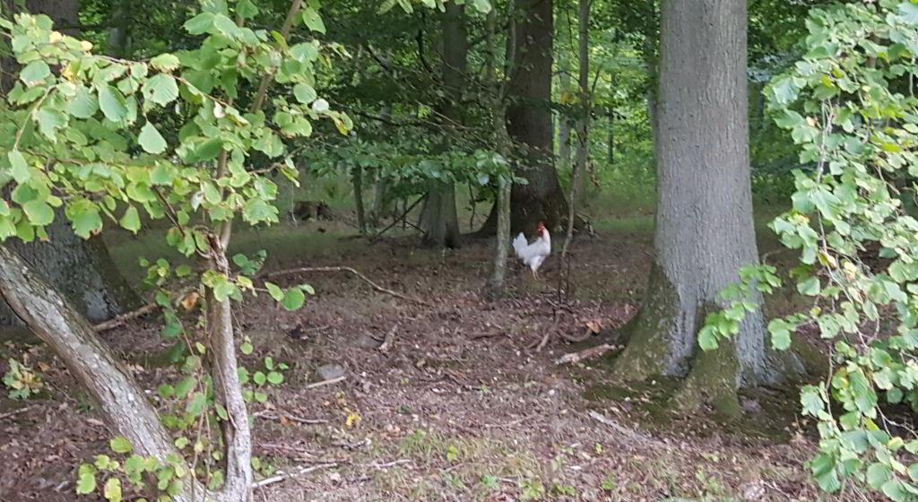 Hvid hane inde i skoven