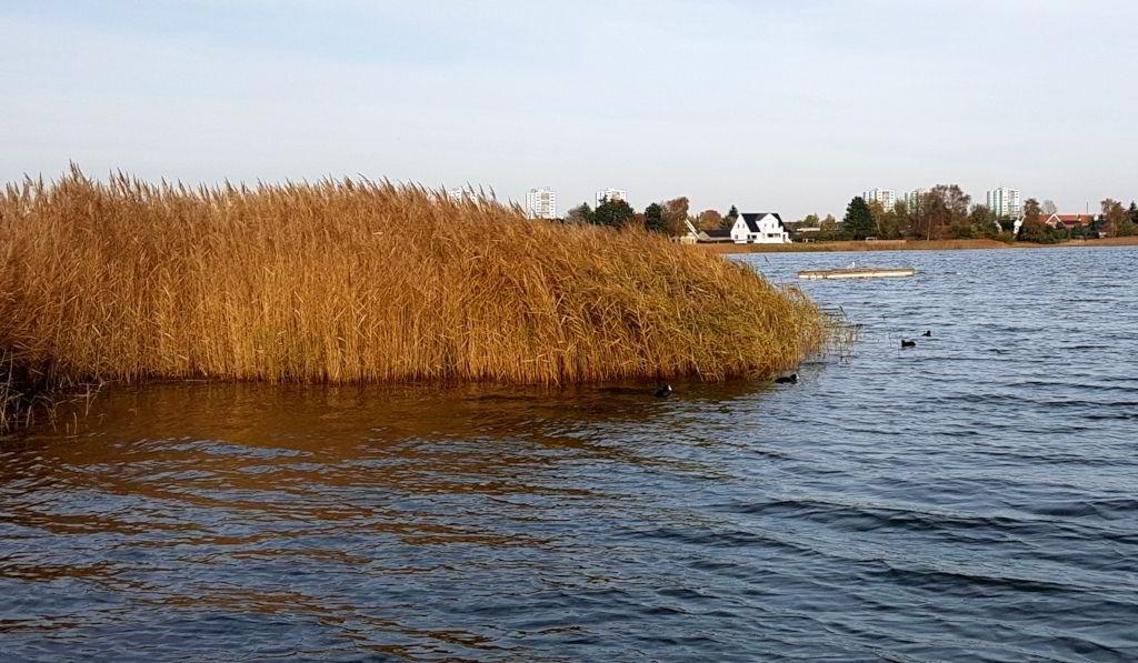Blishøns i Ringebæk sø